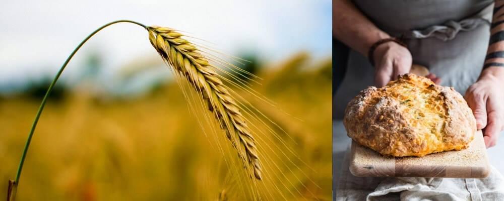 crops wheat
